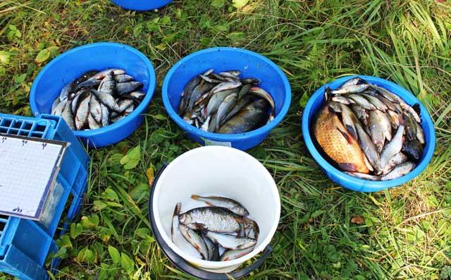 Totalt ett par hundra fiskar.