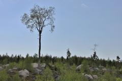 Ståtliga träd som lämnats vid kalhuggning.